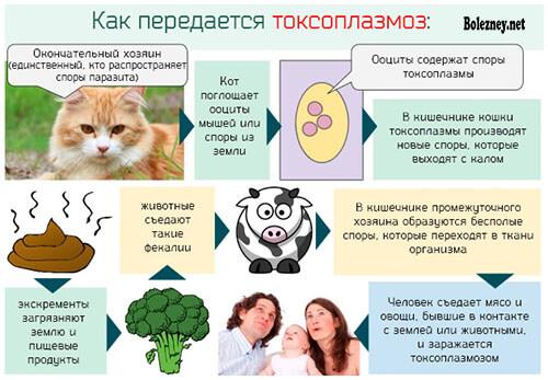 Возможно ли заражение токсоплазмозом от кошек?