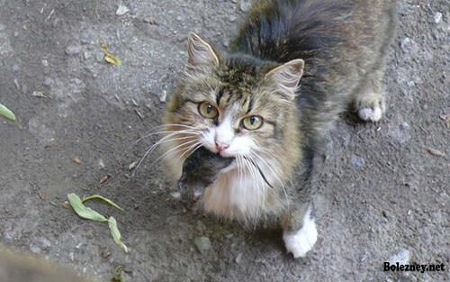 Туляремия у кошки