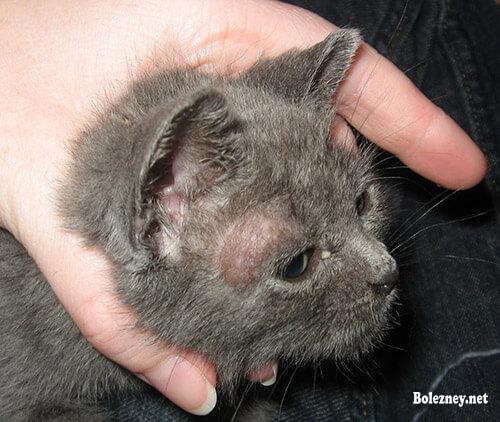 Дерматомикоз у кошки