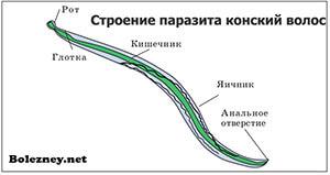 строение паразита Конский волос