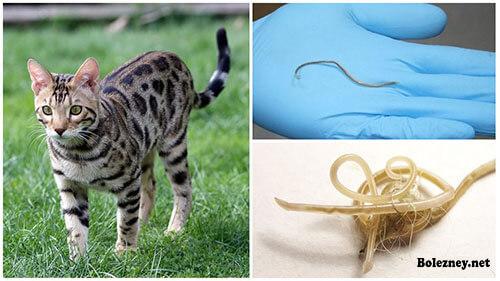 Особенности заражение аскаридами и может ли заразить кошка?