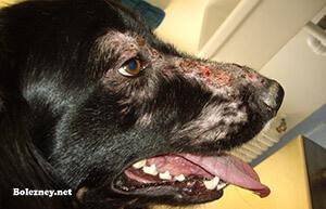 Лечение лейшманиоза у собак
