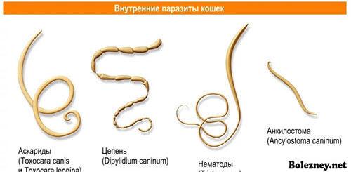 Виды глистов у кошек и их симптомы