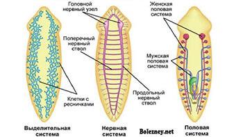 Нервная система Белой планарии