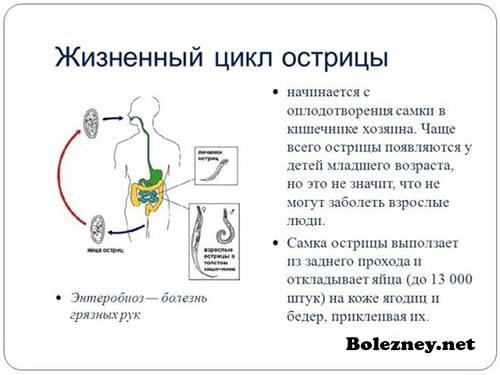 Жизненный цикл острицы в организме человека и вне его